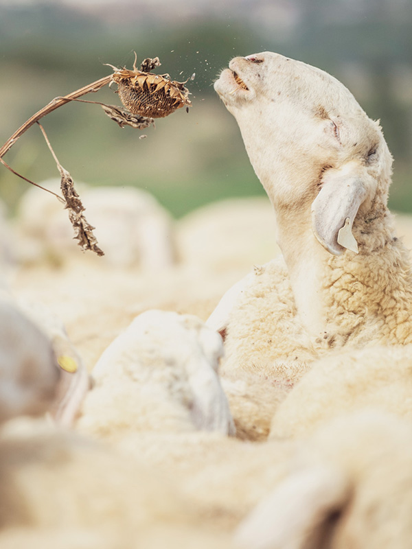 sheep_lesettefinestre